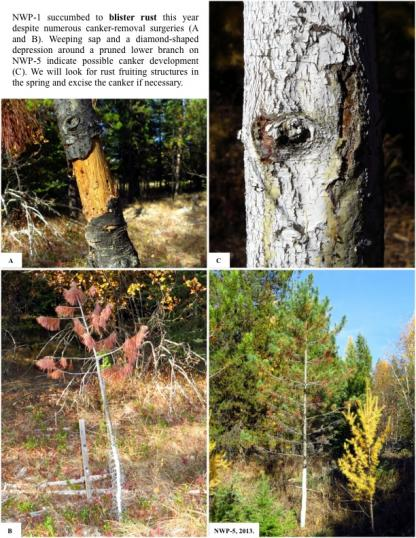 Northern White Pine -1NWP-1 succumbed to blister rust this year despite numerous canker-removal surgeries