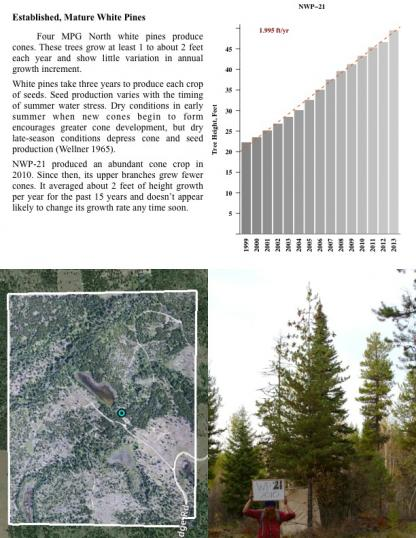Established, Mature White Pines Four MPG North white pines produce cones. These trees grow at least 1 to about 2 feet each year and show little variation in annual growth increment.