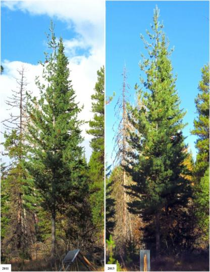 Mature White Pines 2011 vs 2013