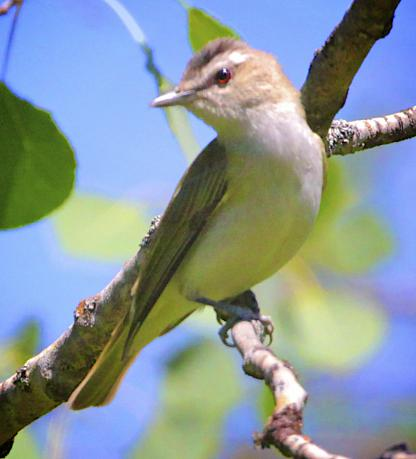 Red-eyed Vireo by Alan Ramsey