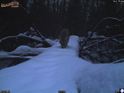 Coyote on snow-covered log