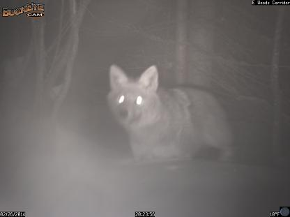 Coyote on a snowy night