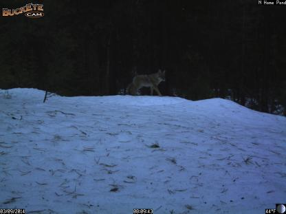 Coyote walking on morning crust