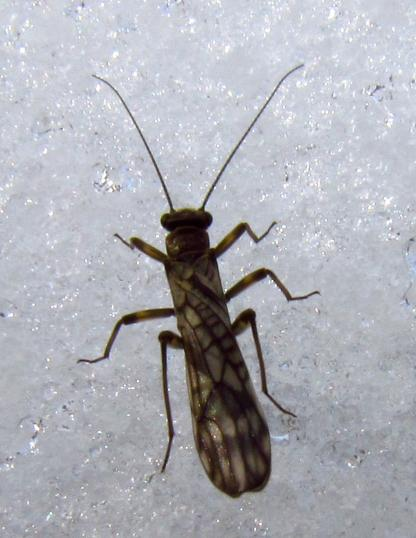 Stonefly on ice by Larinda Hunt