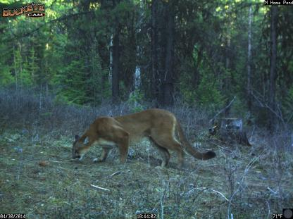 Mountain Lion on a scent