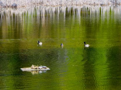 Ring-necked Ducks and Painted Turtles by Beau Larkin