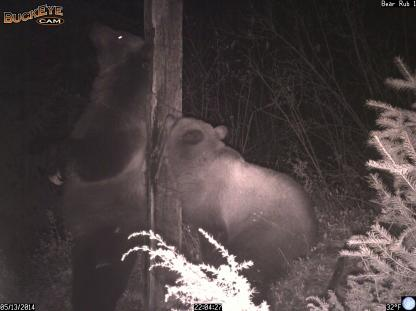 Grizzly Bear back scratching with cub