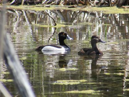 Ring-necked Ducks at Southwest Marsh by Gus Seward