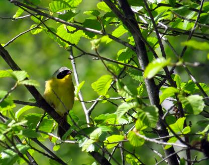 Common Yellowthroat by Beau Larkin