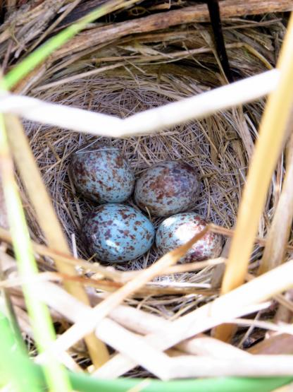 Song Sparrow Nest by Beau Larkin