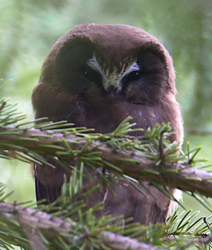 Northern Saw-whet Owl by Alan Ramsey