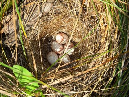 Dark-eyed Junco Nest by Beau Larkin
