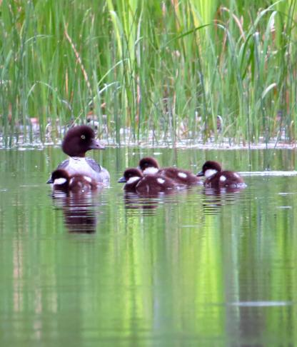 Goldeneye Brood by Beau Larkin