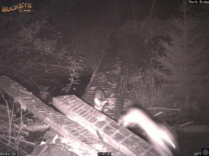 Snowshoe Hare chased by a Marten