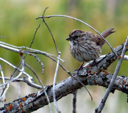 Song Sparrow by Beau Larkin