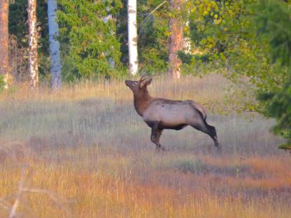 Spike Elk by Lorinda Hunt