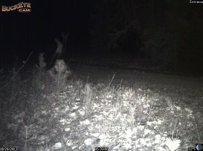 White-tailed deer being chased by Coyote