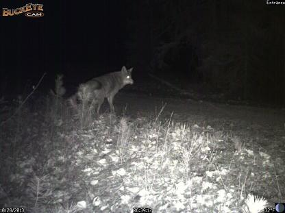 Coyote chasing White-tailed Deer