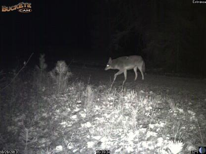 Coyote, given up pursuit of White-tailed Deer