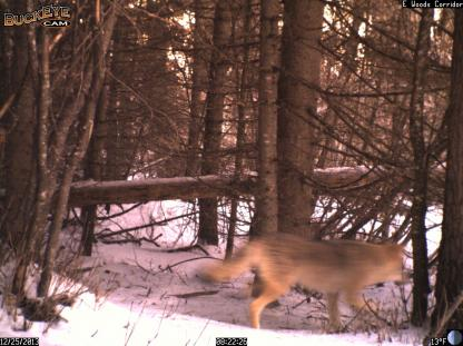 Coyote on the move