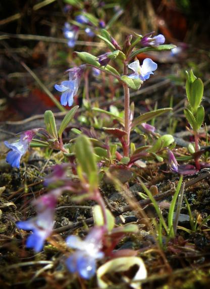Small-flower Blue-eyed Mary, by Jeff Clarke