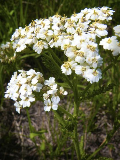 Common Yarrow, by Jeff Clarke