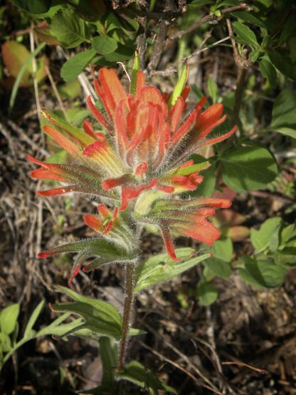 Greater Red Indian Paintbrush, by Jeff Clarke
