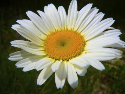 Oxeye Daisy, by Jeff Clarke