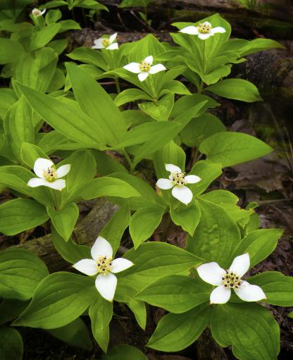 Bunchberry Dogwood, by Jeff Clarke