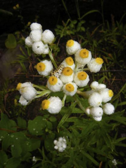 Pearly Everlasting, by Jeff Clarke