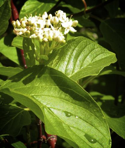 Red-osier Dogwood, by Jeff Clarke