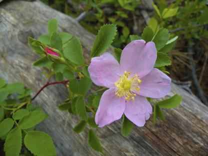 Woods' Rose, by Jeff Clarke
