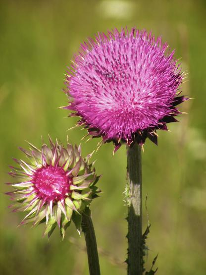 Musk Thistle, by Jeff Clarke