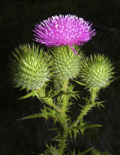 Bull Thistle, by Jeff Clarke