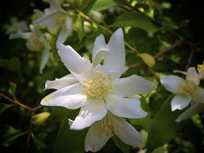 Lewis' Mock Orange, by Jeff Clarke