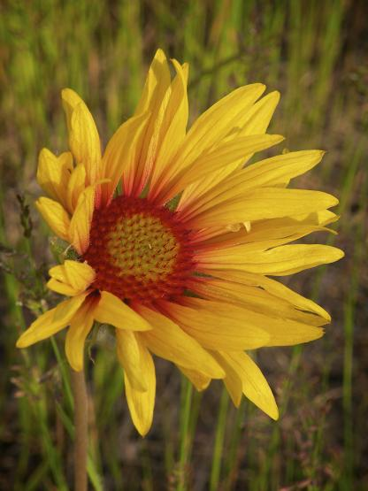 Blackeyed Susan, by Jeff Clarke