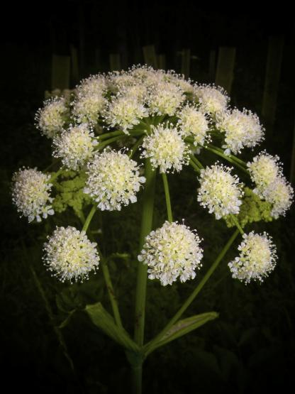 Lyall's Angelica, by Jeff Clarke