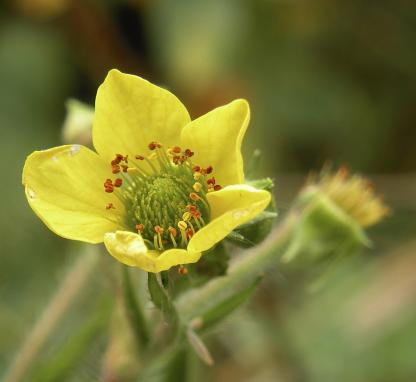 Yellow Avens, by Jeff Clarke