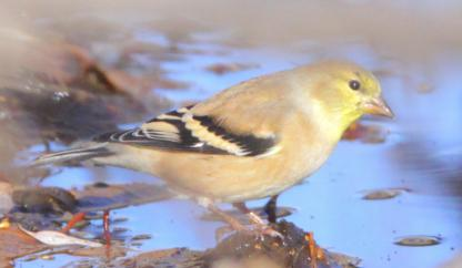 American Goldfinch by Alan Ramsey