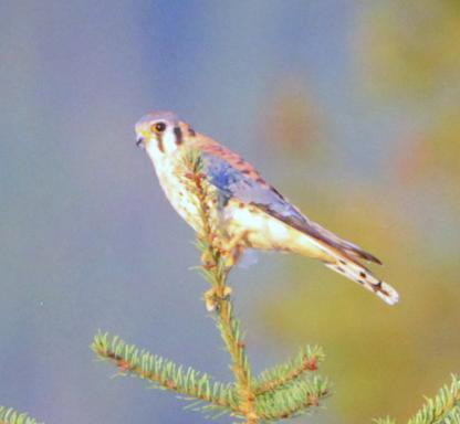 American Kestrel by Alan Ramsey