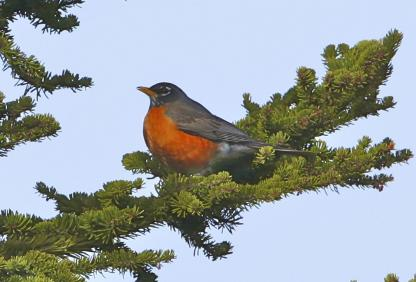American Robin by Alan Ramsey