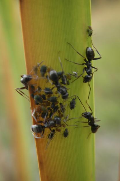 Ants protecting Aphids by Jeff Clarke