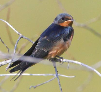 Barn Swallow by Alan Ramsey