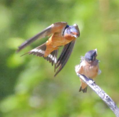 Barn Swallow feeding chick by Alan Ramsey