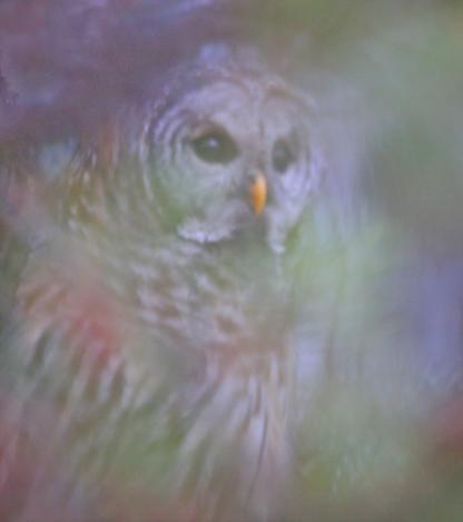 Barred Owl by Alan Ramsey
