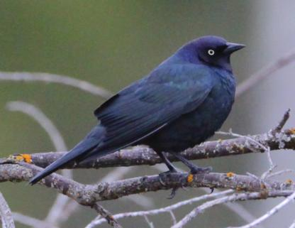 Brewer's Blackbird by Alan Ramsey