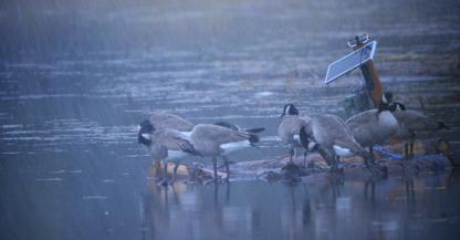 Canada Geese by Alan Ramsey