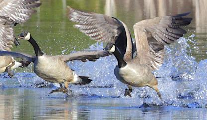 Canada Geese in flight by Alan Ramsey