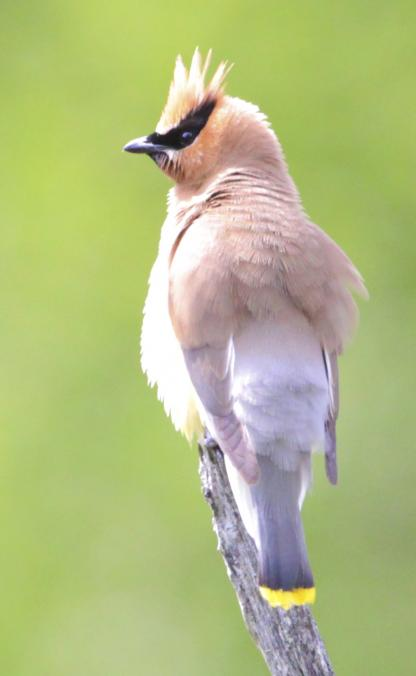 Cedar Waxwing by Alan Ramsey