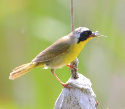 common yellowthroat by Alan Ramsey